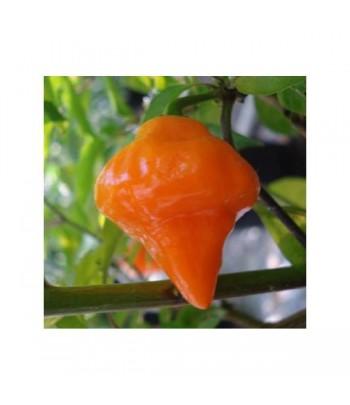 Orange Lantern - Semi di...