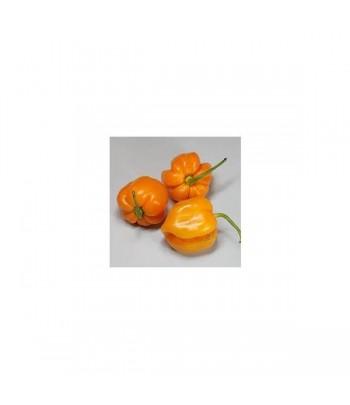 Roatan Pumpkin Habanero -...