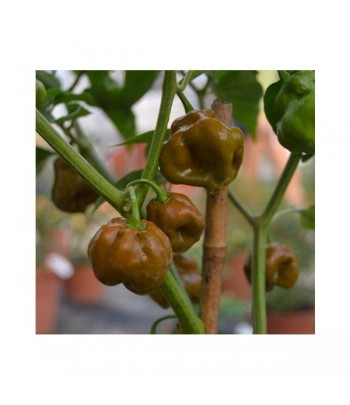 Scotch Bonnet Brown  - Semi...