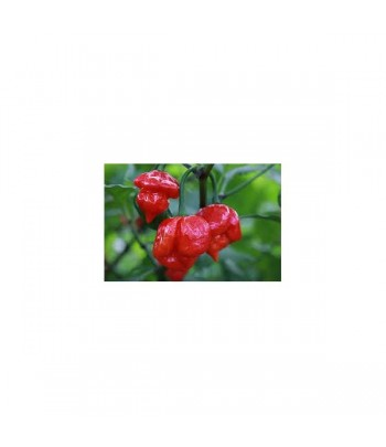 Scotch Bonnet Trinidad Red...