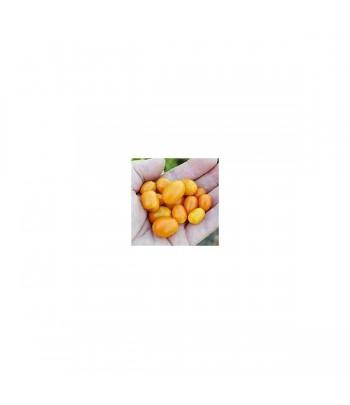 Mini Rocoto PI 387838 -...